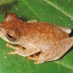 OZZY OSBOURNE: scoperta nuova specie di rana-pipistrello battezzata in suo onore